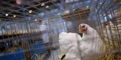 Sacrifican 230 mil pollos por brote de gripe aviar en Japón