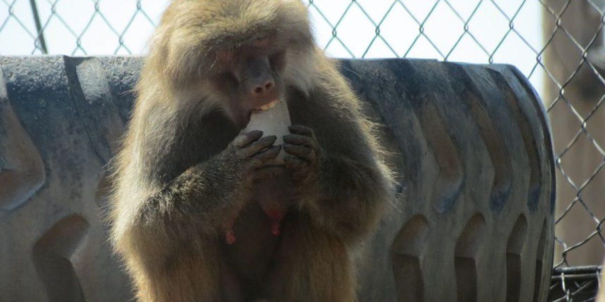 Ola de calor: Buin Zoo dará helados a los animales para combatir los 36 grados pronosticados para Santiago