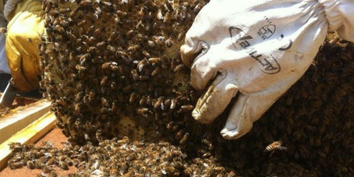 32 mil colmenas de abejas mueren cada año en la Región del Maule