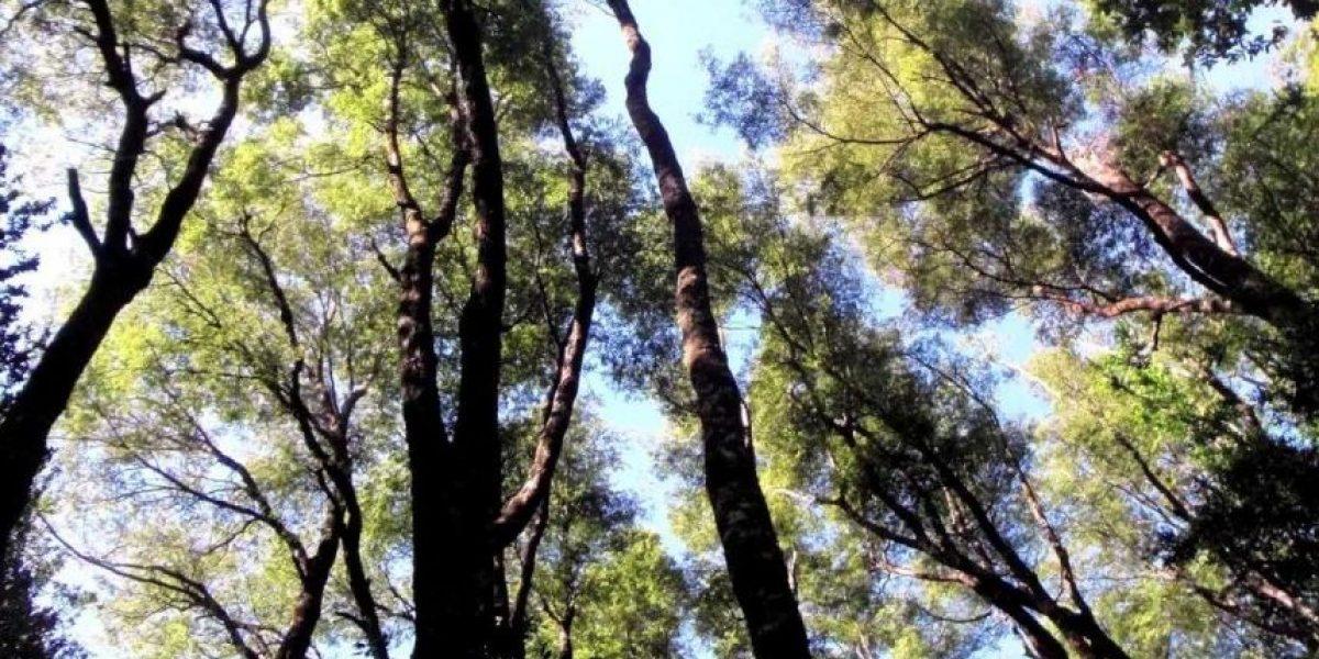 """Gobierno plantará 100.000 nuevas hectáreas de bosque para recuperar """"pulmón verde"""" del país"""