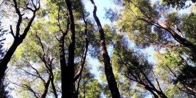 El Gobierno plantará 100.000 nuevas hectáreas de bosque el 2030, si es que se aprueban las modificaciones a la Ley sobre recuperación de bosque nativo y Fomento forestal. Al año, entre el periodo de 1990 y 2016 se quemaron 44.000 hectáreas anuales. Foto:Veoverde. Imagen Por: