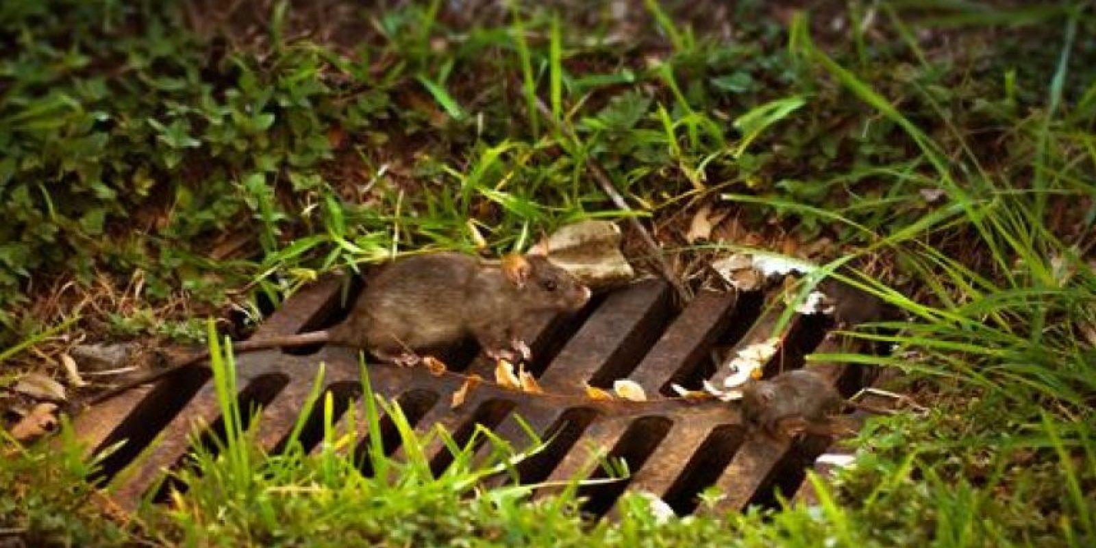 """""""La presencia de estos roedores en gran número presenta problemas sanitarios, estéticos y económicos"""", explicó la alcaldesa de Paris, Anne Hidalgo. Foto:Getty. Imagen Por:"""