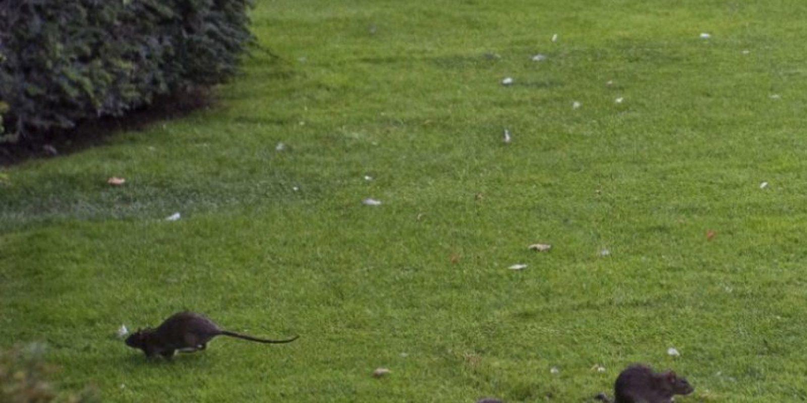 """""""La presencia de estos roedores en gran número presenta problemas sanitarios, estéticos y económicos"""", explicó la alcaldesa de Paris, Anne Hidalgo. Foto:Reproducción Twitter. Imagen Por:"""