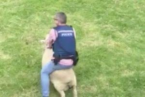 La humorada, le ha valido muchas visitas al video en que se ve al agente ser embestido por la espalda por el animal. Foto:Reproducción Facebook Waitemata Police. Imagen Por: