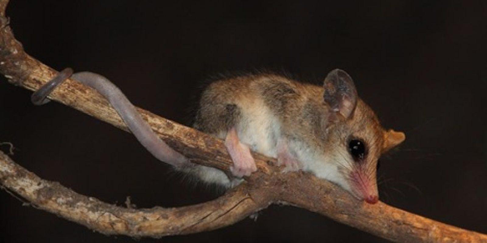 La yaca es uno de los cuatro marsupiales que existen en nuestro país y habitualmente es confundida con una rata, por lo que en ocasiones es exterminada. Foto:Reproducción. Imagen Por: