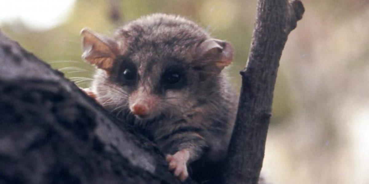 ¿Qué es una yaca? Así es el marsupial que fue cruelmente maltratado