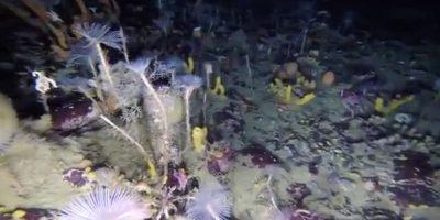 Los científicos intentan comprender mejor el impacto de la acidificación del océano Austral sobre las especies que viven sobre el nivel oceánico, bajo el efecto de las crecientes emisiones de dióxido de carbono. Foto:Reproducción@AusAntartic. Imagen Por: