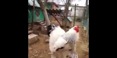La gallina gigante y el video que tiene a todos hablando en Internet