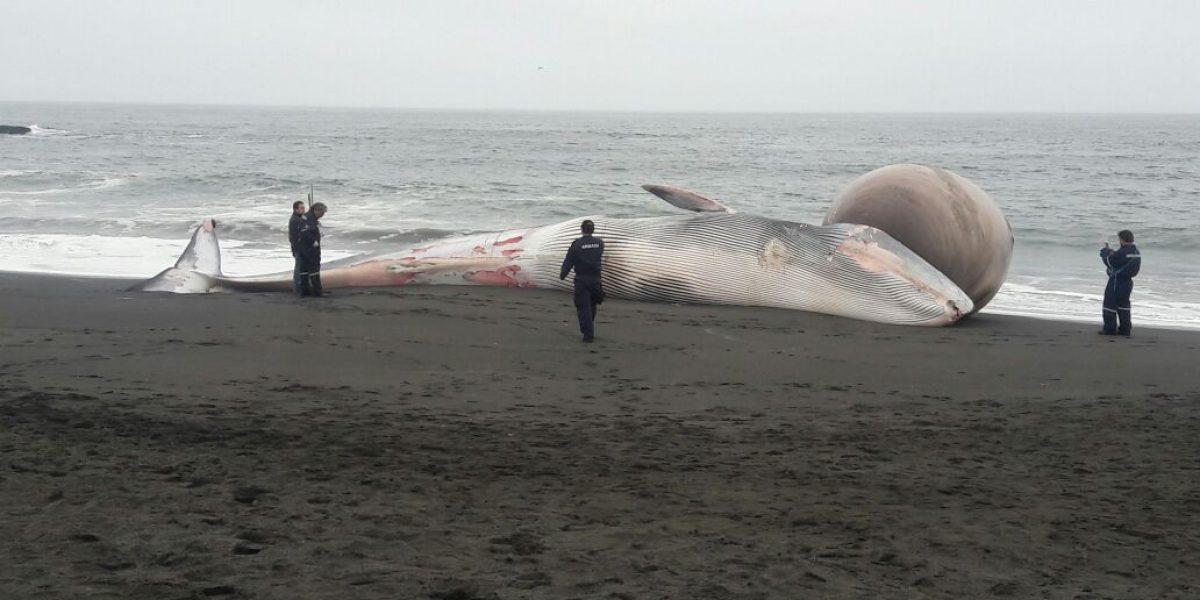 Personal de la Armada enterró ballena de 15 mil kilos que varó en playa de Pelluhue