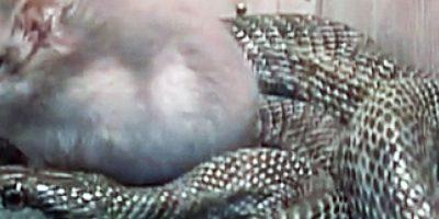 Por alguna razón, esta serpiente decidió que en lugar de su cena este ratoncito podía ser su amigo. Foto:cracked.com