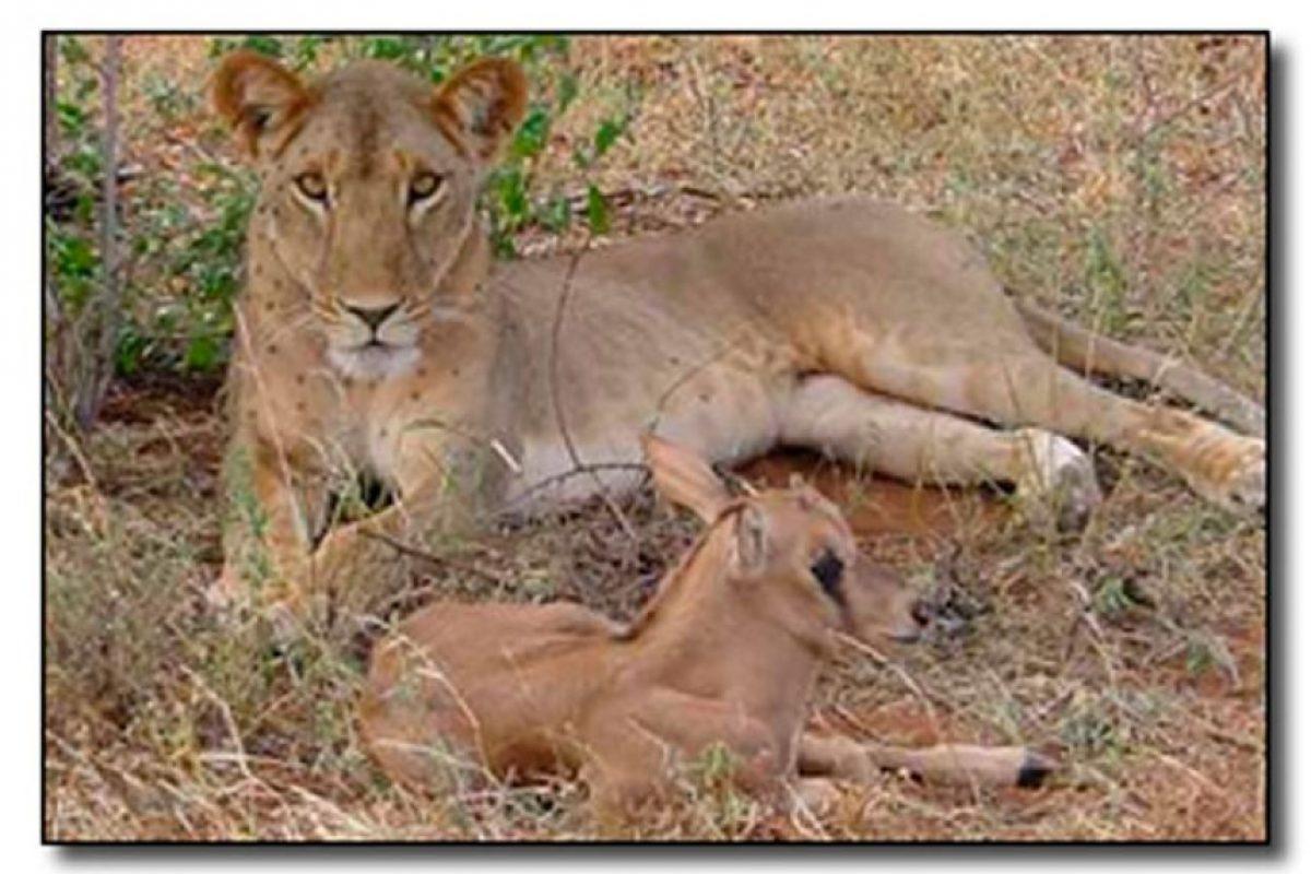 Los instintos animales aún son un misterio. Esta leona decidió cuidar y acompañar este siervo en lugar de comérselo. Foto:cracked.com