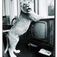 Una de las historias más emblemáticas de las amistades extrañas es la de Christian. Un león que fue educado por dos jóvenes en un apartamento en Londres. Foto:cracked.com