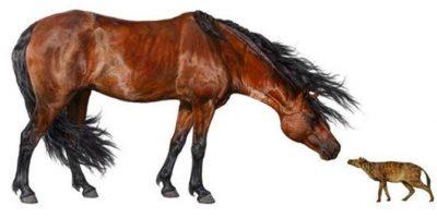 Imagen cedida este 23 de febrero, de una reconstrucción artística de un caballo Sifrhippus (d) tocando narices con un caballo Morgan de 5 pies (1.52 metros) de altura y unas 1.000 libras (453 kilogramos) de peso. EFE