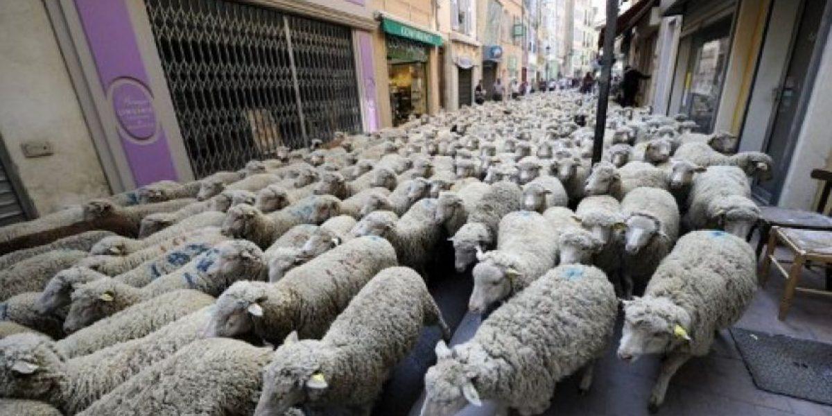 [Galería] Ovejas invaden pueblo francés para protestar por regreso de lobos