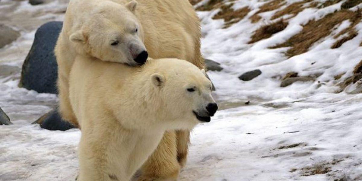 Abrazo de oso, la galería