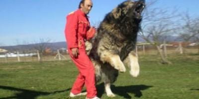 El perro más grande del mundo mide casi dos metros y pesa 127 kilos