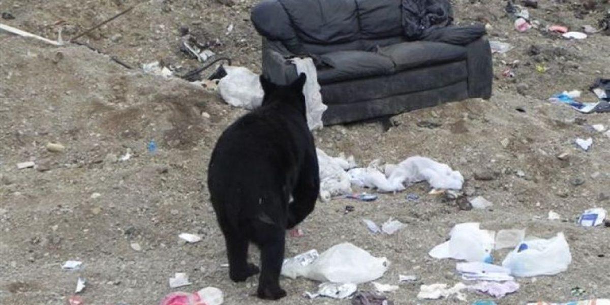 [Galería] ¿Qué hace un oso cuando se encuentra con un viejo sofá?