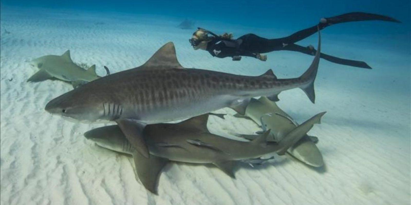 """Foto sin fecha cedida este 28 de marzo, por WaterInspired de la modelo de 27 años Ocean Ramsay, quien podría pasar por actriz de Hollywood, nadando con varios ejemplares de tiburón """"tigre"""" y """"limón"""" en las aguas de Hawai. EFE"""