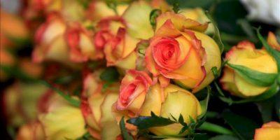 """Fotografía de un paquete de flores ecuatorianas este jueves 27 de junio de 2013, en Tabacundo (Ecuador). Las flores amparadas por las preferencias arancelarias (Atpdea, por sus siglas en inglés) que otorga EE.UU. en compensación por la lucha contra las drogas, perderán ese beneficio tras el anuncio del gobierno de Ecuador de renunciar de manera """"irrevocable"""" a ese acuerdo. EFE"""