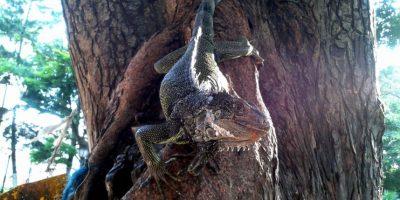 Las iguanas que están en el parque principal de Buga. Foto: Diego Hernán Pérez S. /PUBLIMETRO