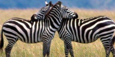 'George de la Selva'. En esta historia, es el Serengeti y sucedió en marzo. Una mujer africana decidió tener sexo con su socio en los arbustos, precisamente cerca de un león. Este, ni corto ni perezoso, atacó, y la mató. Foto: FunnyWallpapers