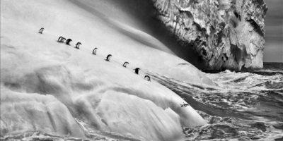 """Fotografía facilitada por la """"Maison Européenne de la Photographie"""" de """"En los confines del Sur"""" (2009), en la que aparecen varios pingüinos barbijos sobre un iceberg entre las islas Zavodovski y Visokoi, en las Islas Sandwich del Sur, cerca de la Antártida. Se trata de una de las 245 imágenes que forman parte de la exposición """"Génesis"""" del fotógrafo brasileño Sebastião Salgado, que hoy ha presentado en dicho museo parisino, donde permanecerá abierta al público desde mañana, 25 de septiembre, hasta el próximo 5 de enero. EFE"""