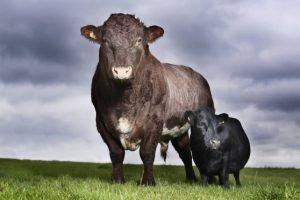 4. La vaca más pequeña del mundo tiene una altura de 0,83 metros. Su nombre es Swallow y ya ha tenido 9 terneros que han nacido con tamaño normal. Crédito: blogs.fanbox.com