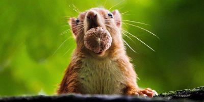 La ardilla guarda temerosa en su boca algunas nueces que conservará hasta el invierno. Foto: AFP