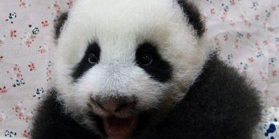 Este bebé panda gigante 'grita' mientras se rehabilita en un jardín chino. Foto: AFP