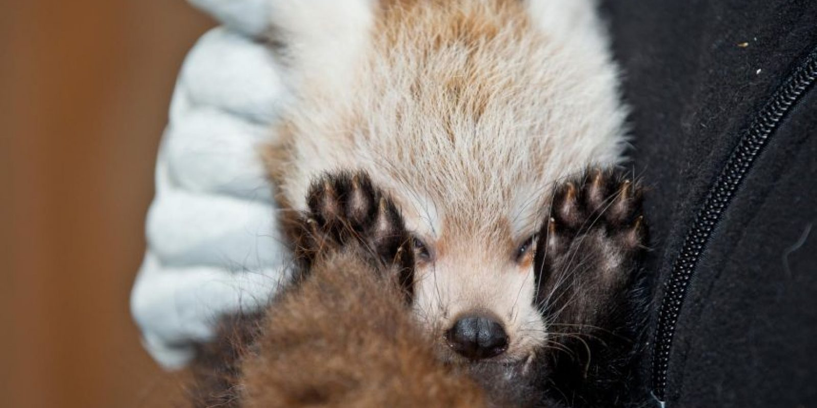 En un zoológico alemán nació este bebé panda rojo que se esconde detrás de sus garras por temor a las cámaras. Foto: AFP