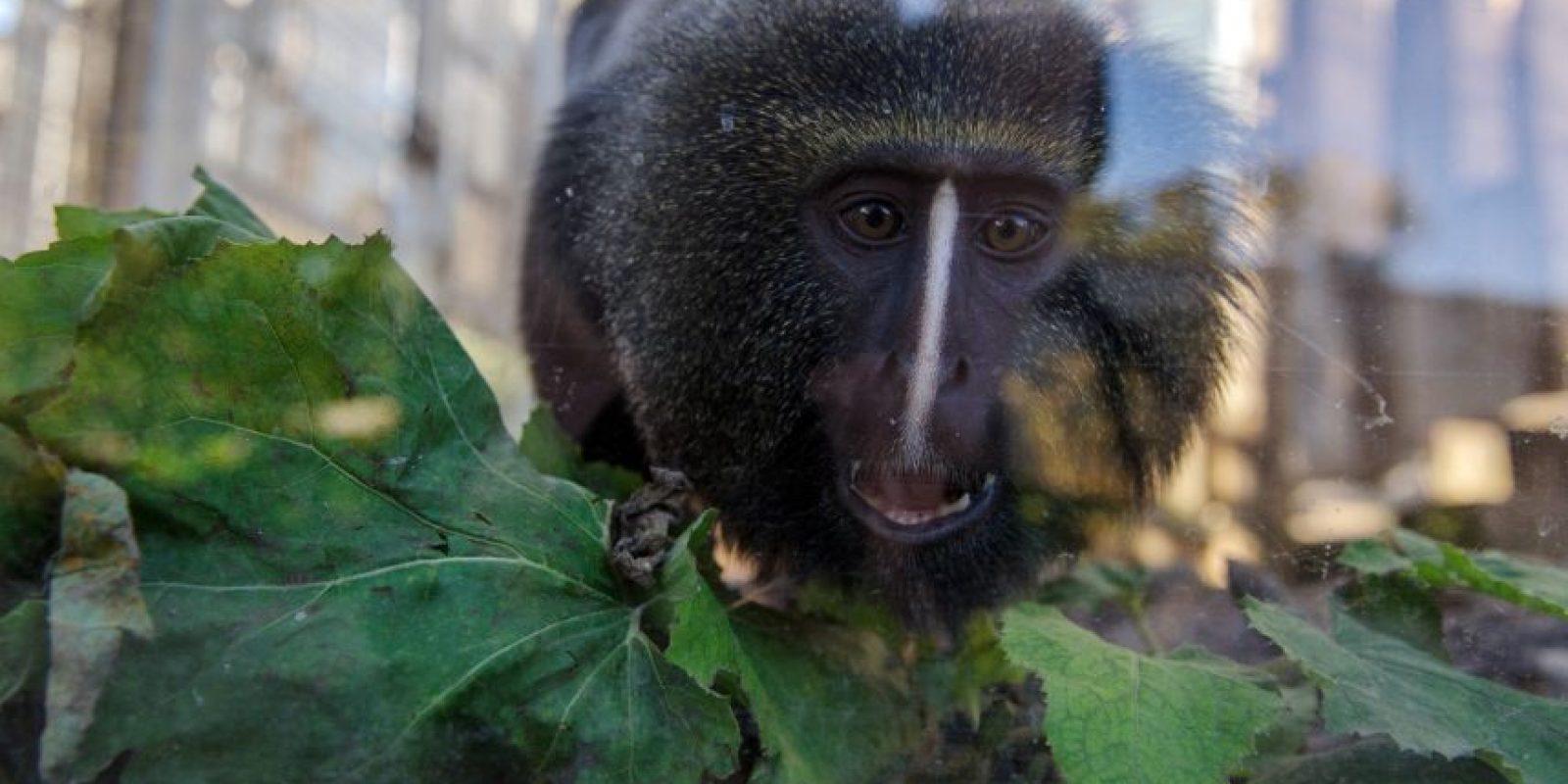El adorable mono parece enojado y temeroso a través del vidrio del lugar en el que está encerrado. Foto: AFP