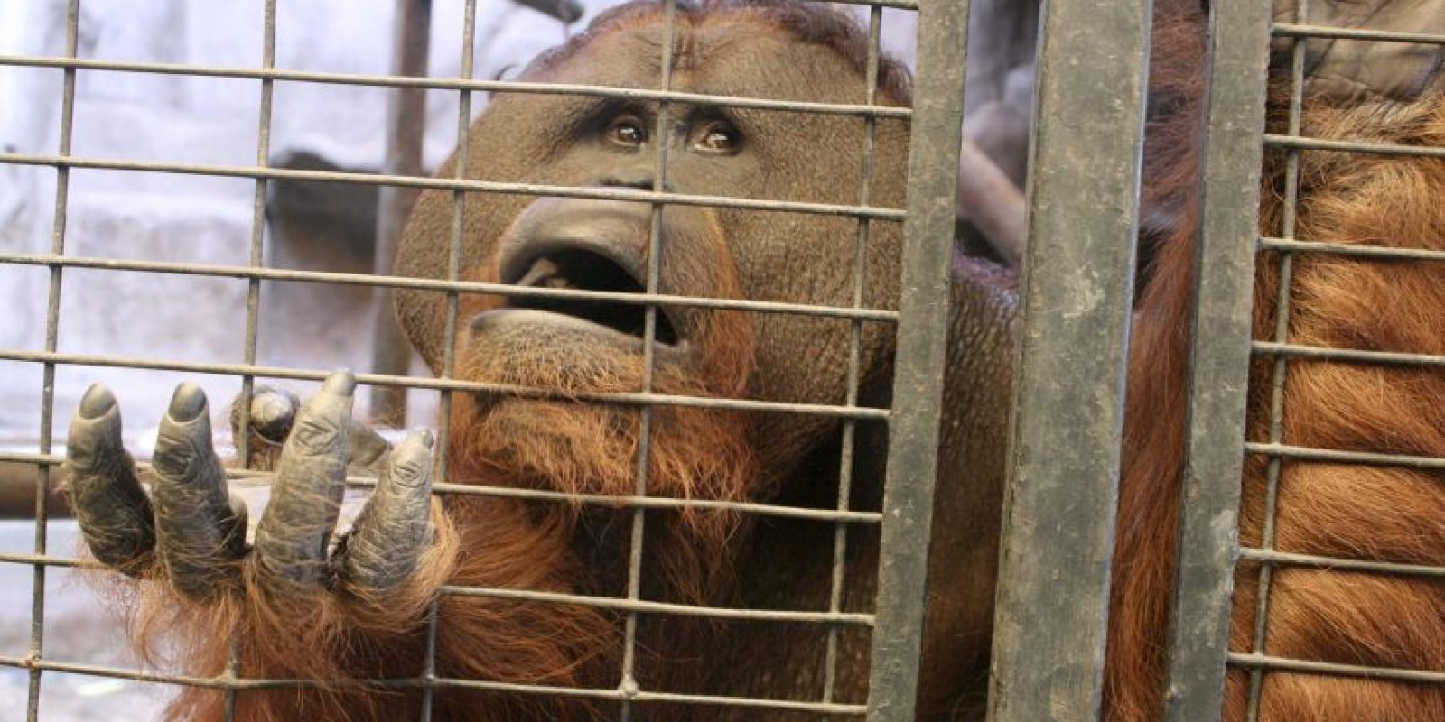 Este orangután, que vive en cautiverio, parece que estuviera conversando de un tema que le causa mucha nostalgia.Foto: EFE