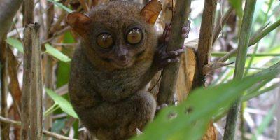 Tarsero filipino, tiene los ojos tan grandes que siempre parece a punto de llorar. Foto:EFE