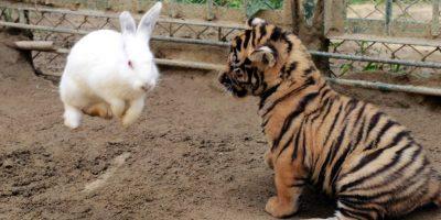 Un conejo brinca del susto mientras un pequeño tigre en China aprende a cazar como sus papás. Foto: AFP