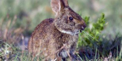 Existe una especie de conejo de pantano nombrada por Hefner, hefneri o sylvilagus palustris. Estuvo en el ejército de Estados Unidos de 1944 a 1946. Es primo 9º del expresidente de EU, George W. Bush. Foto: Getty Images