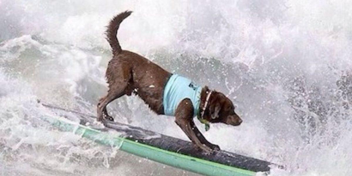 #SurfcitySurfdog: Usuarios presumen a sus perros surfeando