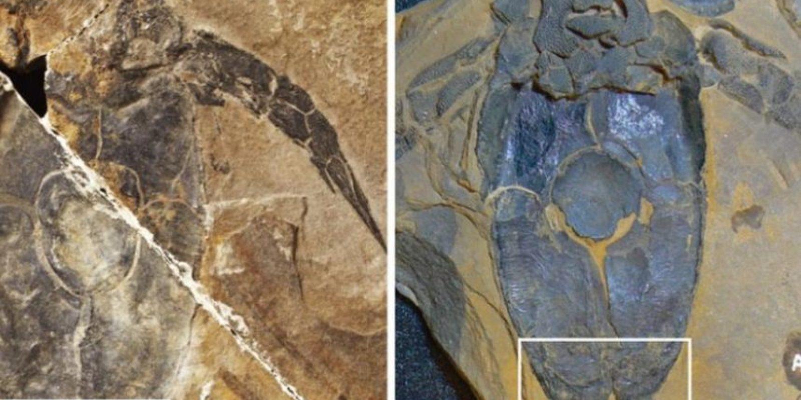 Este fósil simboliza la forma más primitiva que se conoce de un órgano sexual y demuestra el primer uso de una fertilización interna y una copulación como una estrategia reproductiva conocida en los registros paleontológicos. Foto:Nature.com