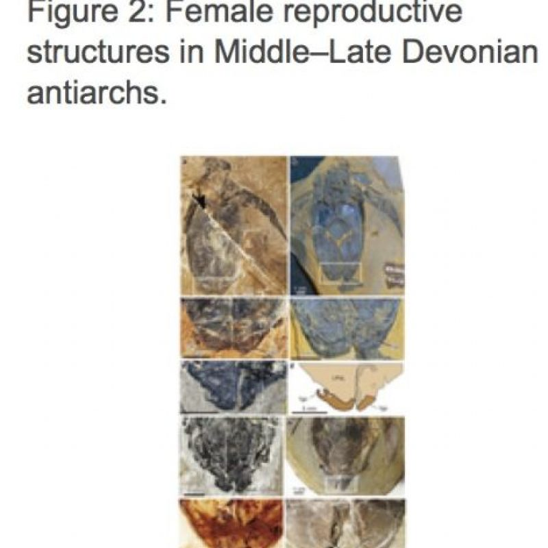 """Hemos resuelto este gran misterio porque sabemos que servían para la copulación, para que el macho pueda posicionar su miembro en el área genital de la hembra"""", indicó Longal canal de radio ABC. Foto:Nature.com"""