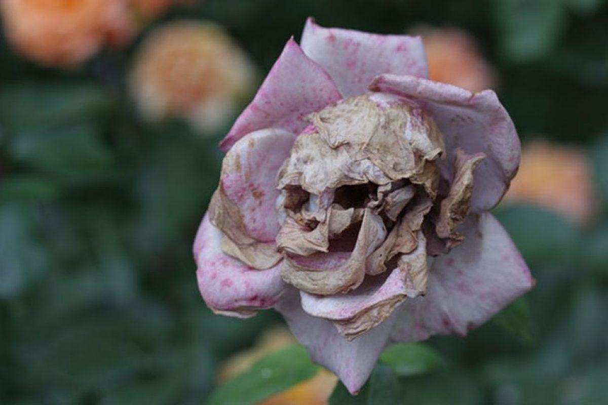 Era una flor hermosa, pero ahora es todo lo contrario. Foto:Reproducción.