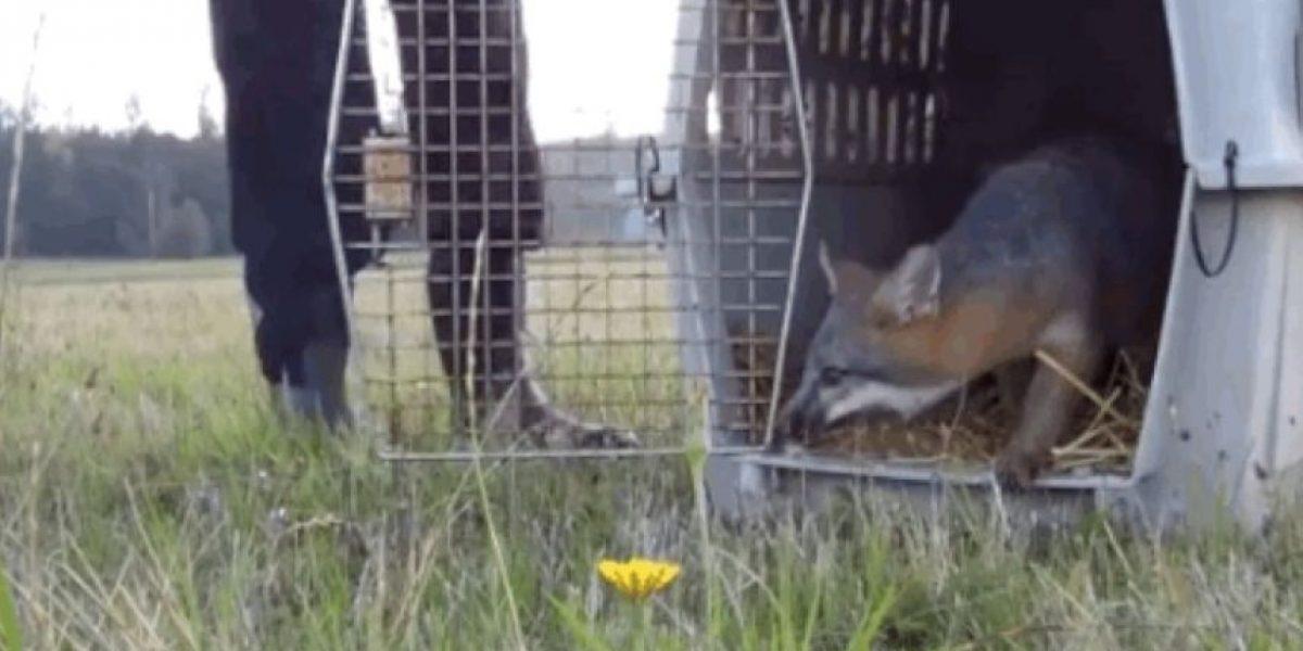 VIDEOS: ¡De vuelta a casa! Así es la alegría de un animal cuando retorna a su hábitat