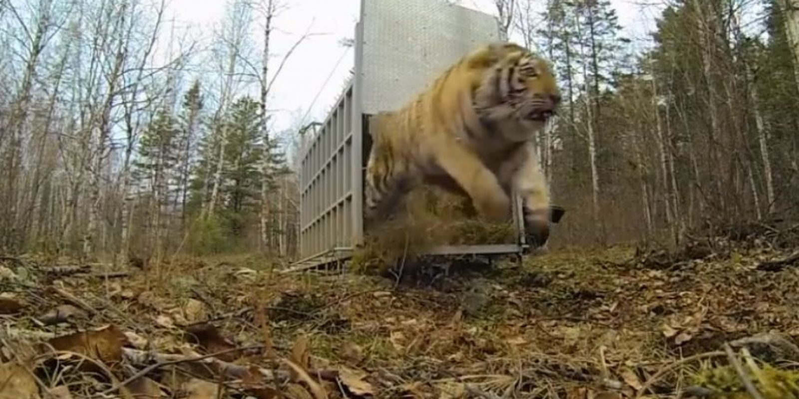 Tigre siberiano Foto: YouTube: IFAW – International Fund for Animal Welfare