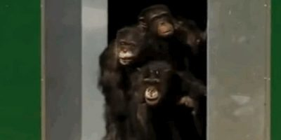 Chimpancés Foto: YouTube: EVOLVE Campaigns