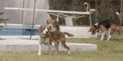 Foto: YouTube: Beagle Freedom Project