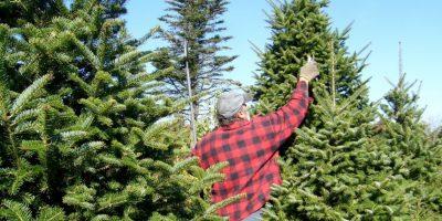 Los millonarios son capaces de pagar más de 20 mil dólares por un árbol perfecto cada Navidad. Foto: Wikimedia