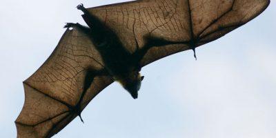4. Existen muchos diferentes depredadores para los murciélagos dependiendo de la ubicación donde se encuentren y el tamaño de las diferentes especies de quirópteros.. Foto:Getty Images
