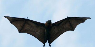 5. Resulta difícil encontrar restos de fósiles de murciélagos, debido a los ligeros huesos de su anatomía. Foto:Getty Images