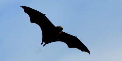 3. Sólo una muy pequeña fracción de murciélagos en el mundo, en realidad, sobreviven de la sangre de otros animales. Foto:Getty Images