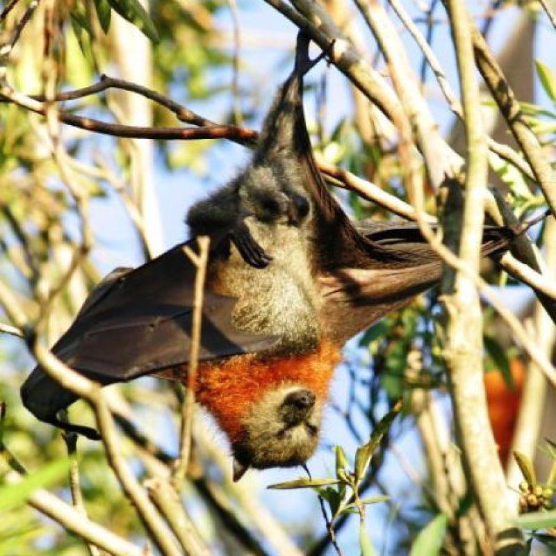 9. Su esperanza y promedio de vida es de unos 6 años, aunque se registran casos de murciélagos que han vivido hasta los 15 años de edad. Foto:Getty Images