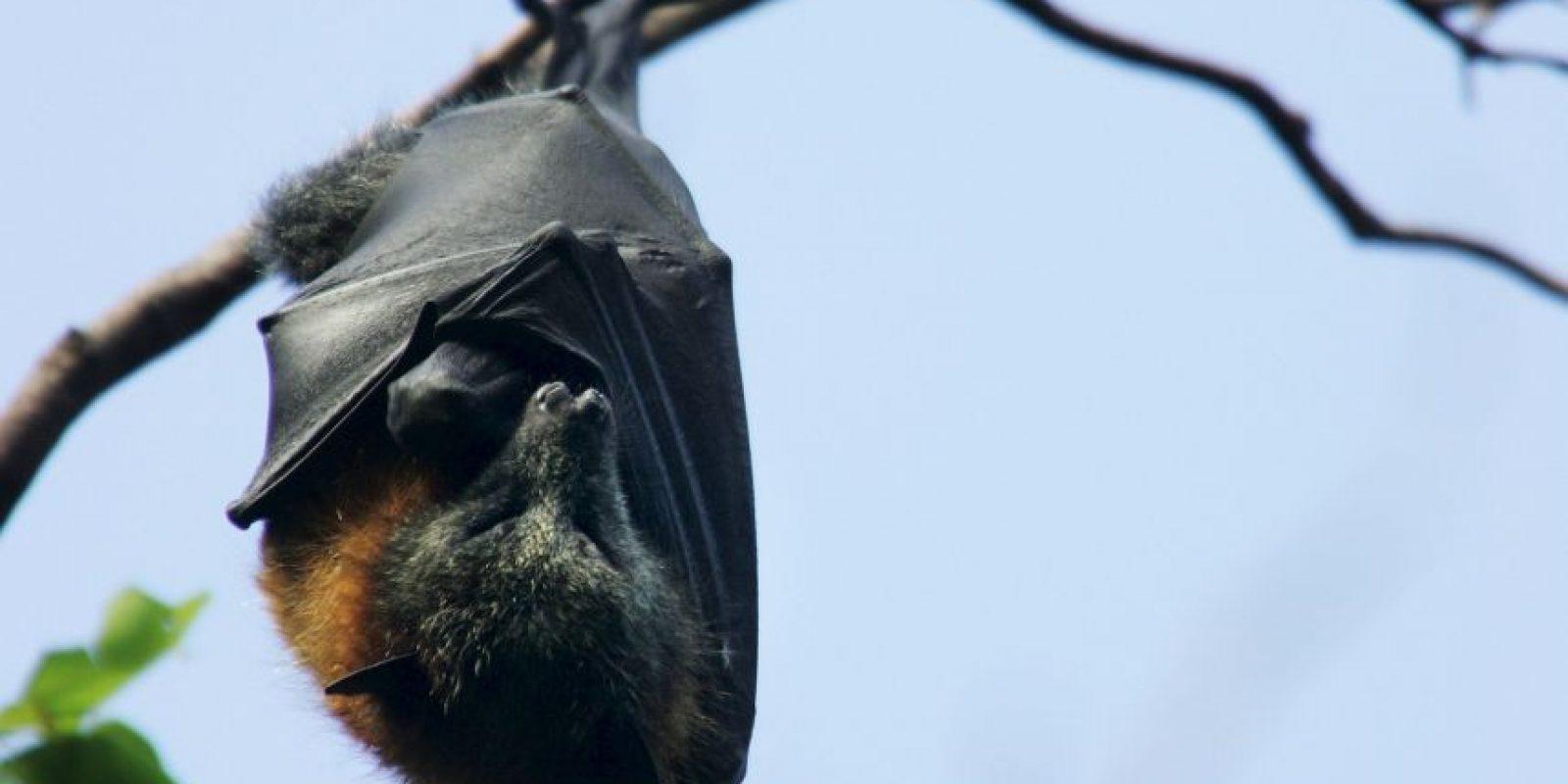 1. El murciélago es una criatura muy adaptable. La investigación muestra que existen muy pocos lugares en el mundo donde no residan. Foto:Getty Images