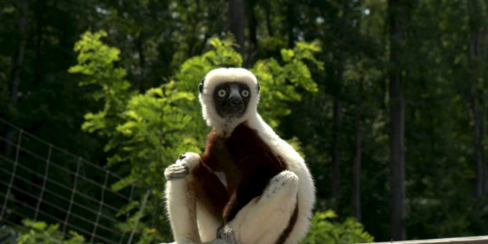 Foto:Facebook: Duke Lemur Center
